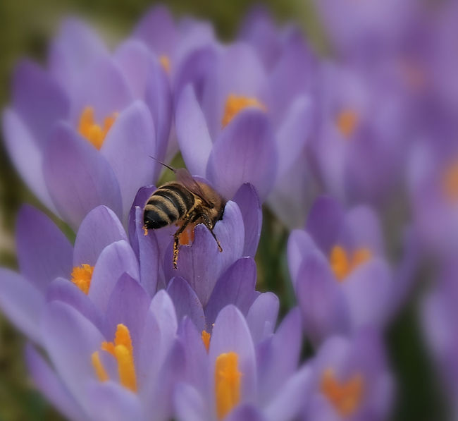 Beauty In Nature Bee Blooming Buzzing Close-up Crocus Flower Flower Head Fragility Freshness Growth Insect Nature No People One Animal Outdoors Petal Plant Pollination Purple Springtime Violet Crocus