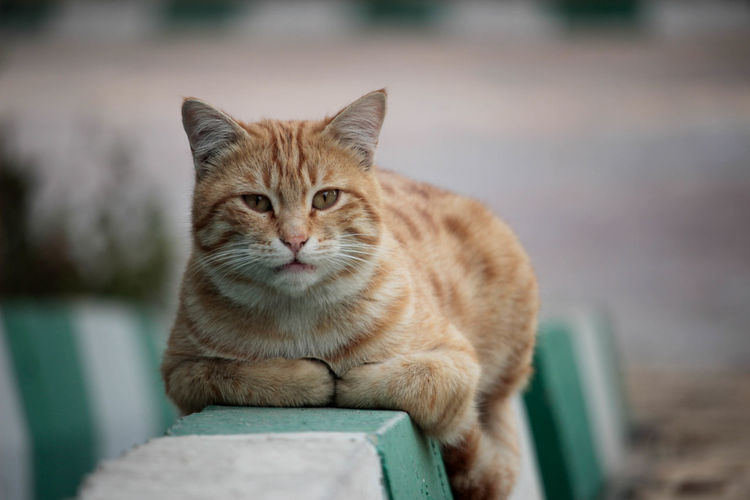 Animal Animal Themes Cat Chair Domestic Domestic Animals Domestic Cat Feline Focus On Foreground Ginger Cat Looking At Camera Mammal No People One Animal Pets Portrait Relaxation Seat Sitting Tabby Vertebrate Whisker