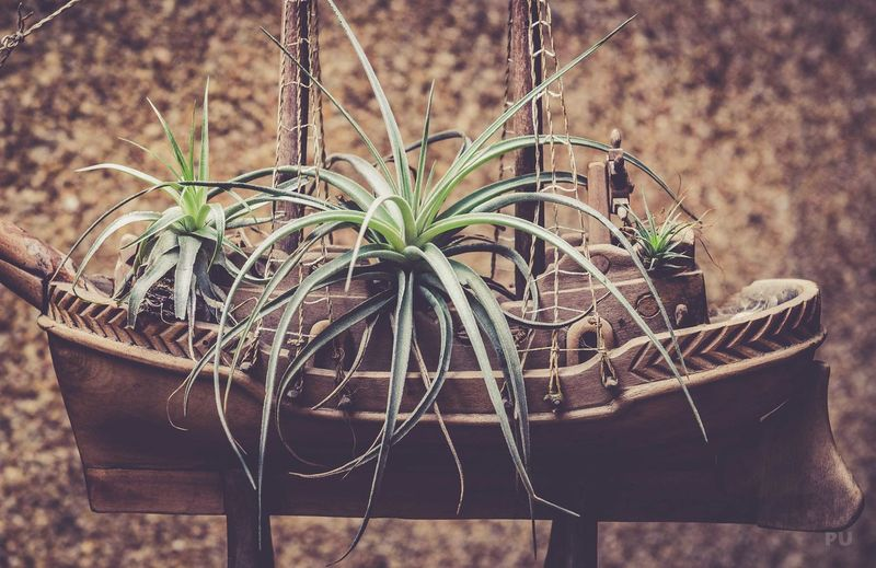 Airplants Tillandsi Bromeliad Bromelias Airplant Airplantlovers Beauty In Nature Nature Plant Succulent Plant