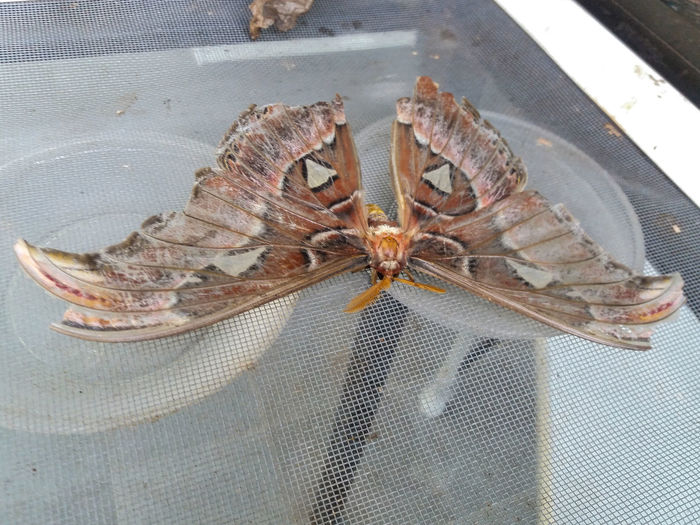 """Attacus atlas (Atlas moth) is a large saturniid moth endemic to the forests of Asia. Atlas moths are one of the largest lepidopterans in the world with a wingspan measuring between 25–30 cm (9.8–11.8 in) and a wing surface area of about 400 cm2 (62 in2). It is only surpassed in wingspan by the white witch (Thysania agrippina) and in wing surface area by the Hercules moth (Coscinocera hercules). Females are noticeably larger and heavier than males, while males have broader antennae. The body is disproportionately small compared to the wings. The upper side of the wings are reddish-brown with a pattern of black, white, pink, and purple lines and triangular, scale-less windows bordered in black. The undersides of the wings are paler. Both forewings have a prominent extension at the top. Atlas moths are named after either the Titan of Greek mythology (due to their size) or their map-like wing patterns. In Hong Kong, the Cantonese name translates as """"snake's head moth,"""" referring to the prominent extension of the forewing which bears resemblance to the head of a snake Adult Atlas moths are weak, unsteady fliers. To conserve energy, the moths rest during the day and fly at night... SANTA MARGARIDA ENVIRONMENTAL PARK AND TROPICAL BUTTERFLY HOUSE In a space of six hectares and in a scenery of great quality and beauty, the Environmental Park of Santa Margarida provides the visitor with direct contact with nature, enjoying moments of tranquility and having information and activities related to the environment. The park includes a garden of medicinal and aromatic plants, an outdoor amphitheater, water mirrors, a playground, a picnic area, an observation tower from which you can have an overview of the Park and one can appreciate an immense landscape, and a tropical butterfly house. The butterfly is installed in a modern building, with temperature and humidity controlled to resemble the tropical environment (23-30 ° C, 70% humidity). After a series of information about butterfl"""