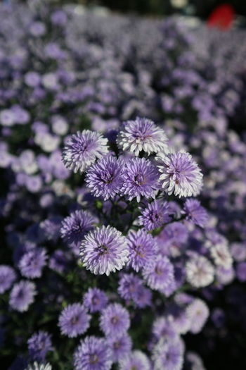 Close-up of purple flowering plant in field