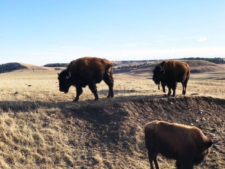 Scenics Outdoors Backgrounds Nature Buffalo