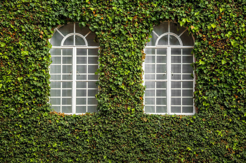 Two white windows on an ivy covered wall. Arch Bogotá Botany Capital City Climbing Colombia Creeper Decoration Flora Foliage Green Grow Ivy Leaf Leaves Natural Nature Plant Texture Urban Vine Wall White Window