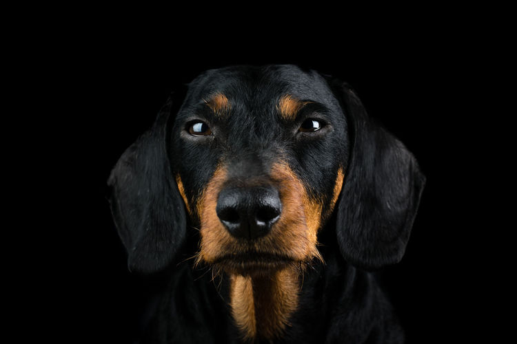 Studio portrait of the front view of a head of an dachshund on black background Adorable Animal Animal Themes Black Black Background Breed Brown Canine Cute Dachshund Dog Domestic Animals Face Isolated Isolated Black Background Mammal No People One Animal Pet Pets Puppy Purebred Studio Portrait Studio Shot Teckel