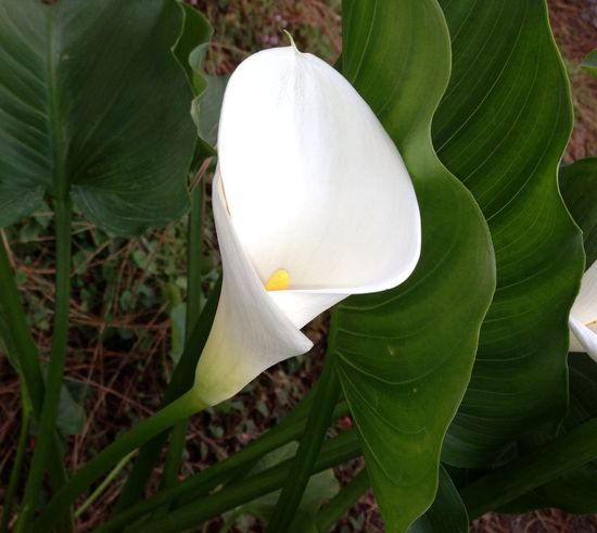 White Calla Lilly Beauty In Nature Calla Lilly Detail Flower Fragility Nature Single Flower Stamen White White Color Fine Art Photography Colorful Copy Space Check This Out No People Beautiful Flowers Simple Natural Beauty Nature_collection Natural Pattern Nature_perfection Meditation Still Life Photography Walking The Streets
