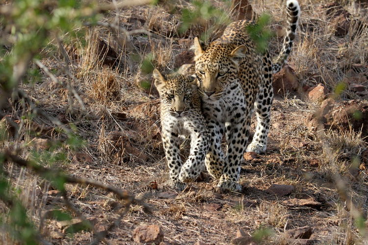 View Of Leopard With Cub Walking Side By Side