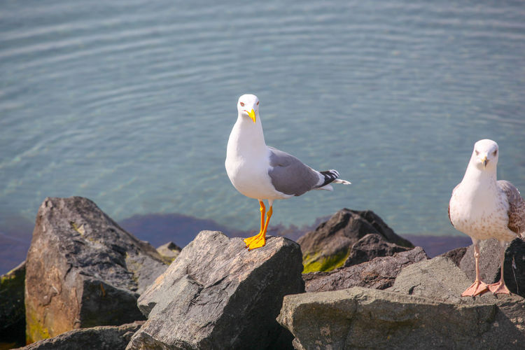 Close-Up Of Seagull On Beach Animal Themes Bird Animal Vertebrate Animal Wildlife Animals In The Wild Water Perching Rock Rock - Object Group Of Animals Solid Seagull No People Day Nature Sea Focus On Foreground Two Animals Outdoors