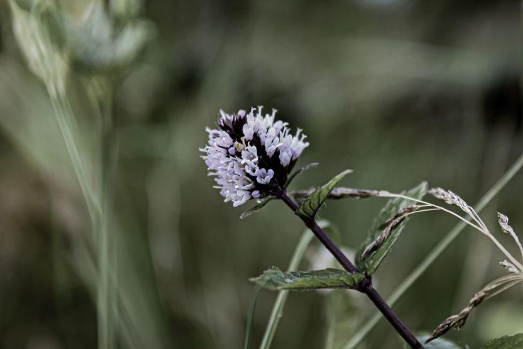 Mint Blossom,