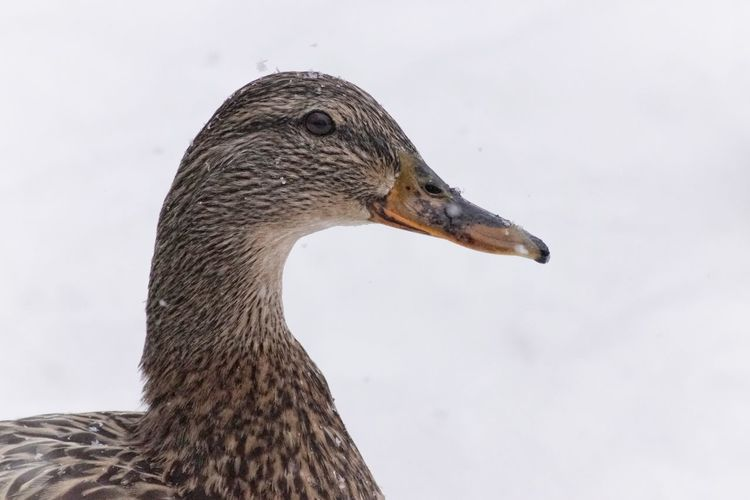 Mallard Showcase February 2018 Niklas Februari 2018 Bird Animals In The Wild One Animal Animal Wildlife Beak Outdoors Animal Themes No People Day Nature Close-up