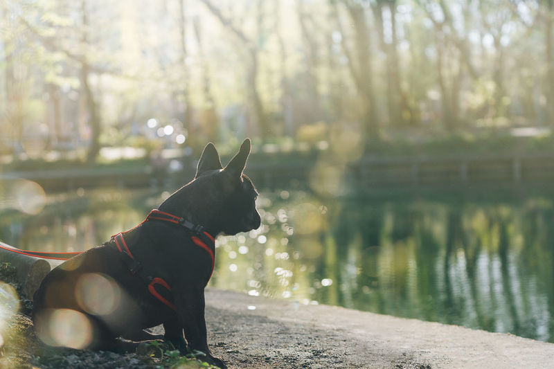 Zero meets spring. Reflection Contre-jour Frenchie Frenchbulldog Park Park - Man Made Space Nature One Animal Animal Profile View Pets Water Tree Dog Pet Collar Animal Themes Bulldog French Bulldog Pet Equipment Purebred Dog Pet Leash Puppy Canine