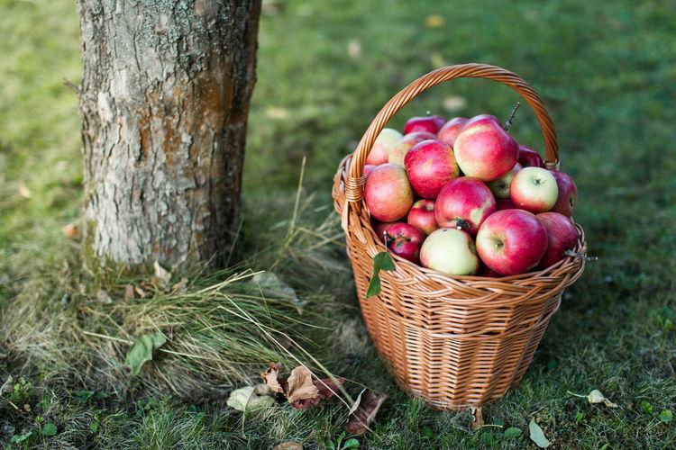 Apples In Wicker Basket By Tree On Field