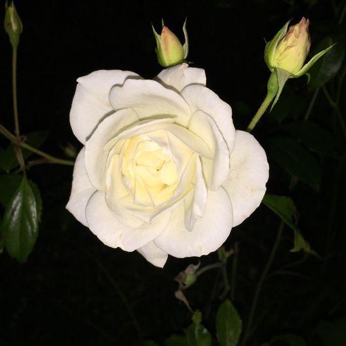 White Rose Nightphotography Spazierenmithund Nature