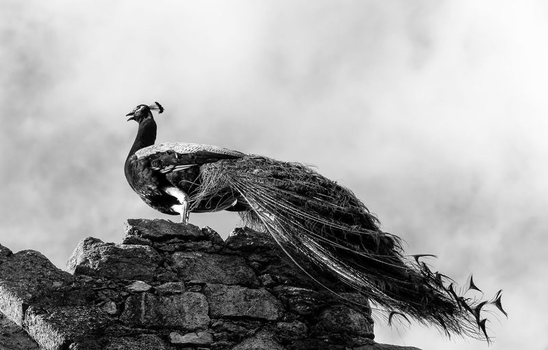 Low angle view of peacock on rock against sky