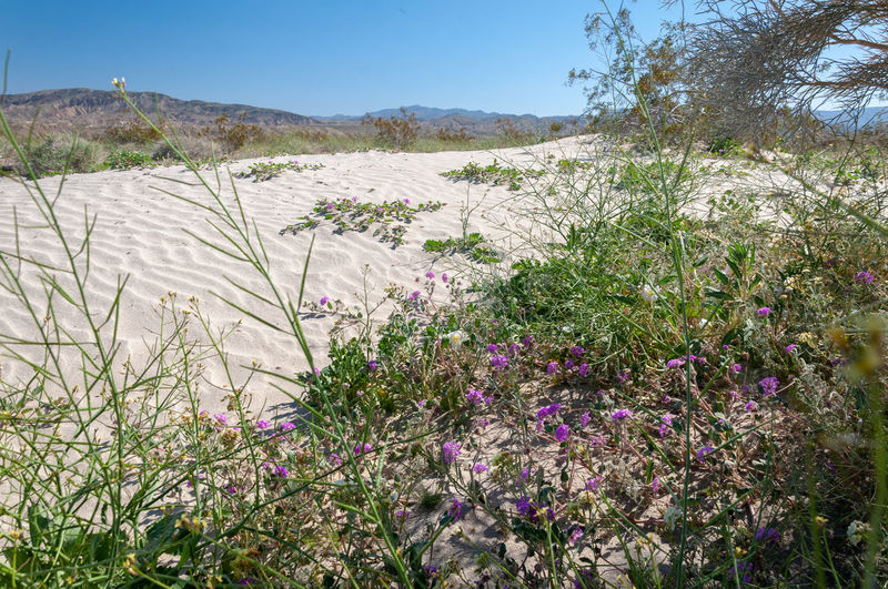 Anza Borrego Desert Flowers Plant Beauty In Nature Growth Flower Tranquil Scene Day Nature Tranquility Scenics - Nature Flowering Plant Sky Land Mountain No People Tree Environment Landscape Sunlight Outdoors Non-urban Scene Anza Borrego