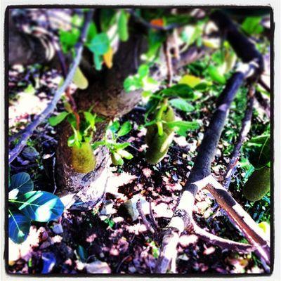 I found a Jackfruittree Fruit Gofruityourself 801010