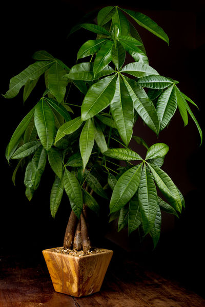 Branch Green Color Growing Growth Leaf Leaves Money Tree Plant
