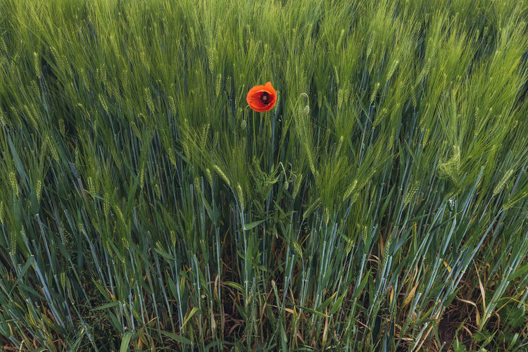Poppy in the field. Agriculture Barley Beauty In Nature Cereal Plant Crop  Day Ear Of Wheat Field Grass Green Color Growth Hordeum Nature No People Nusshain 06 17 Outdoors Papaver Plant Poppy Red Rural Scene Tranquility Wheat Perspectives On Nature