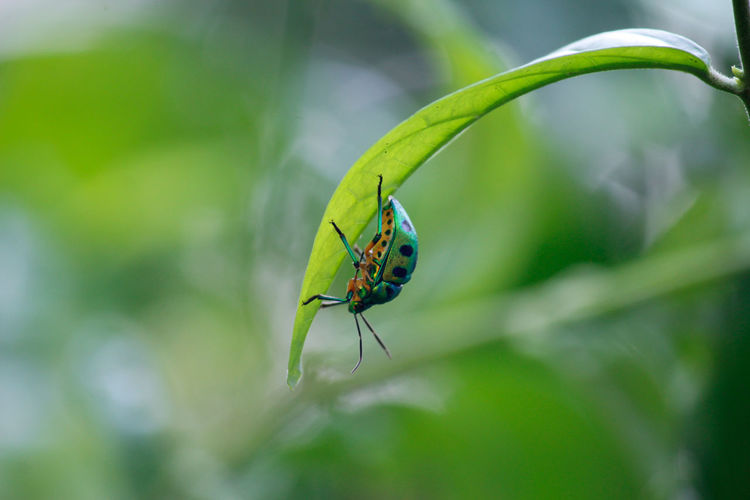 Insect Animals In The Wild One Animal Animal Wildlife Leaf No People Green Color Beetle Collection Green Beetle Green Beetle With Black Spots Close-up Plant Outdoors Day Beautiful Colors Insect Photography Closeup Photography Simple Beauty Mettalic Colour