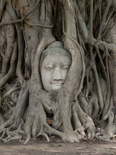 Old buddha statue head in the tree at ancient temple of Ayutthaya the old city of Thailand Ancient Buddha Tree Ancient Ancient Civilization Architecture Art And Craft Belief Buddha Head Craft Creativity History Human Representation Intertwined Male Likeness No People Old Place Of Worship Religion Representation Root Sculpture Spirituality Statue The Past