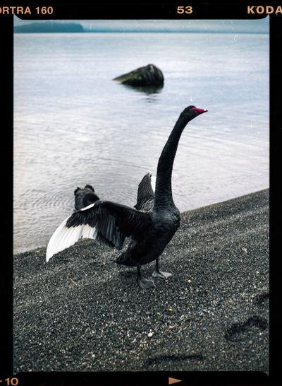 Black bird flying over the lake
