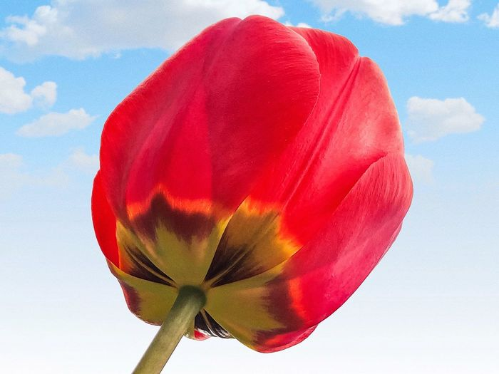 Tulip closeup... Blooming Flower Love Scent Environment IPhoneX Garden Flowers Garden Botany Spring Flower Spring Tulip Red Flower Flowering Plant Close-up Nature Fragility Beauty In Nature Vulnerability  Freshness Cloud - Sky Multi Colored Flower Head Low Angle View Petal Plant Outdoors Blue No People Sky