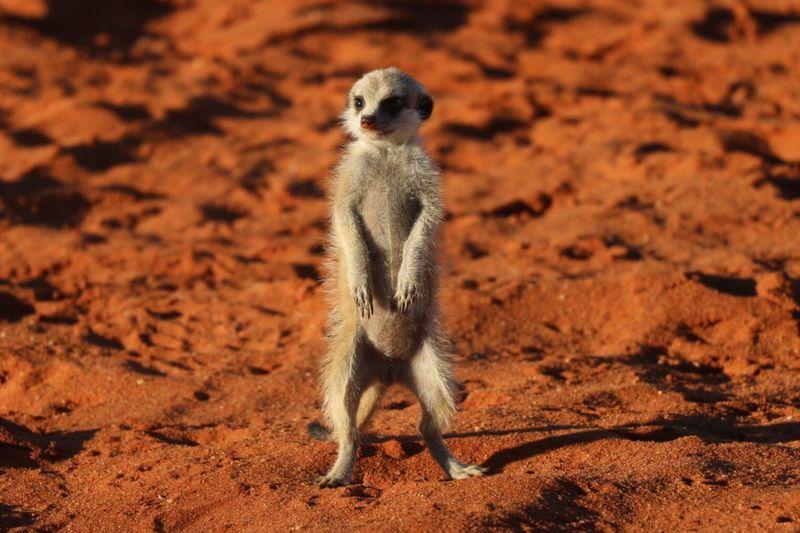 Meerkat looking away
