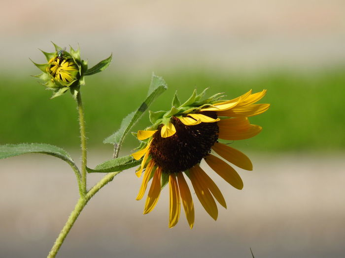 sunflowers in the city. 2 Flowers Green Color Yellow Petals Yellow Flower Sunflowers Flower Flowering Plant Floral Floral Photography Flower Head Flower Close-up Plant Wilted Plant Sunflower