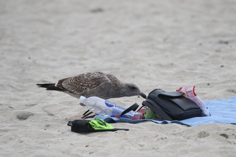 Beach Belongings Bird Curious Day No People Outdoors Sand Seagull Stealing Thief