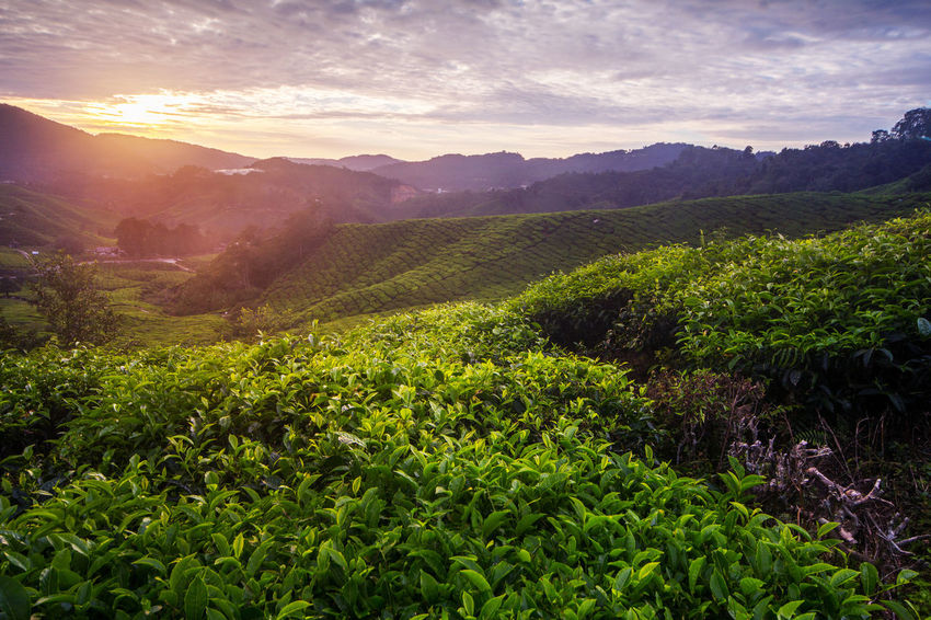Amazing landscape view of tea plantation in sunset/sunrise time. Nature background with blue sky and foggy. Burning Sky Cameron Highlands EyeEm Best Shots EyeEm Nature Lover EyeEm Selects EyeEm Gallery EyeEmBestPics EyeEmNewHere Green Color Landscape_Collection Nature Photography Pahang, Malaysia Tea Art Of Nature Backgrounds Blue Sky Eye4photography  Fog Landsacpephotography Morning View Sungai Palas Sunrise Sunset Tea Plantation  Wallpaper