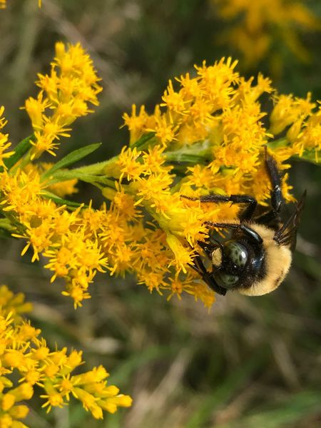 Goldenrod Pollenation Allergy Allergy Season One Animal Flower Insect Animal Themes Yellow Growth Outdoors Plant Nature No People Animals In The Wild Day Focus On Foreground Close-up Fragility Beauty In Nature Bee Freshness Allergen