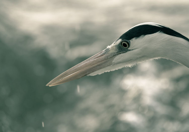 Close-up of gray heron looking away