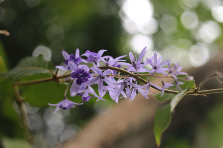 Beauty In Nature Bokeo Flower Flowering Plant FolwerBokeo Nature Purple Purple Flower Purple Flowers ดอกไม้ (Flower)