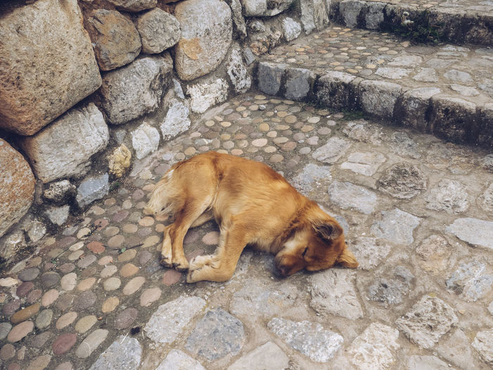 Peruvian Street Dog Peru Peruvian Wild Puppy Sleeping Streetphotography High Angle View Close-up Stray Animal Ground Dog This Is Latin America