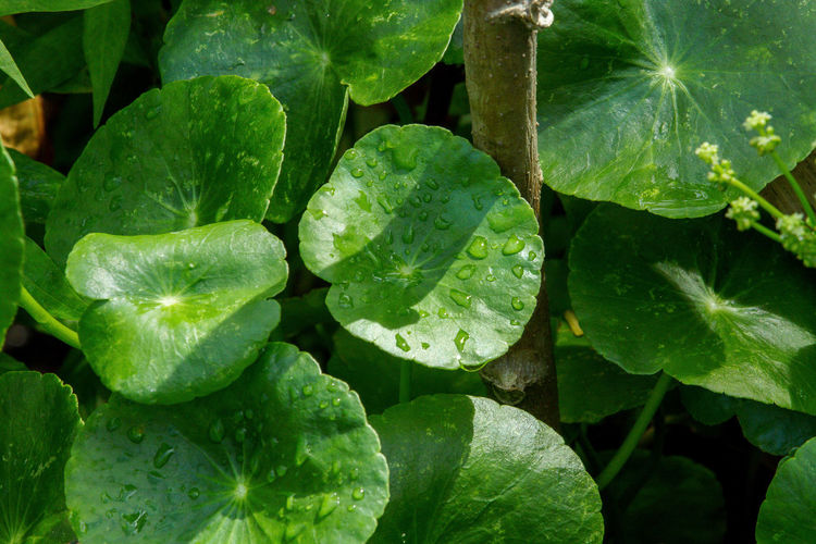 Centella Asiatica Backgrounds Beauty In Nature Centella Asiatica Centella Asiatica Urban Close-up Day Food Food And Drink Fragility Freshness Full Frame Green Color Growth Leaf Nature No People Outdoors Plant