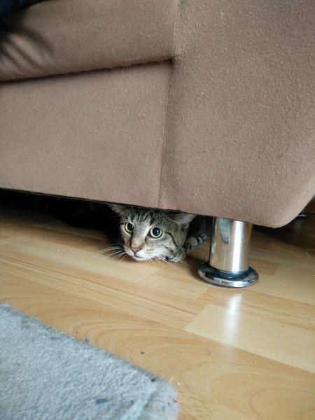 Domestic Cat Feline Pets Portrait Looking At Camera Angrycat Tabby Cat Kitten