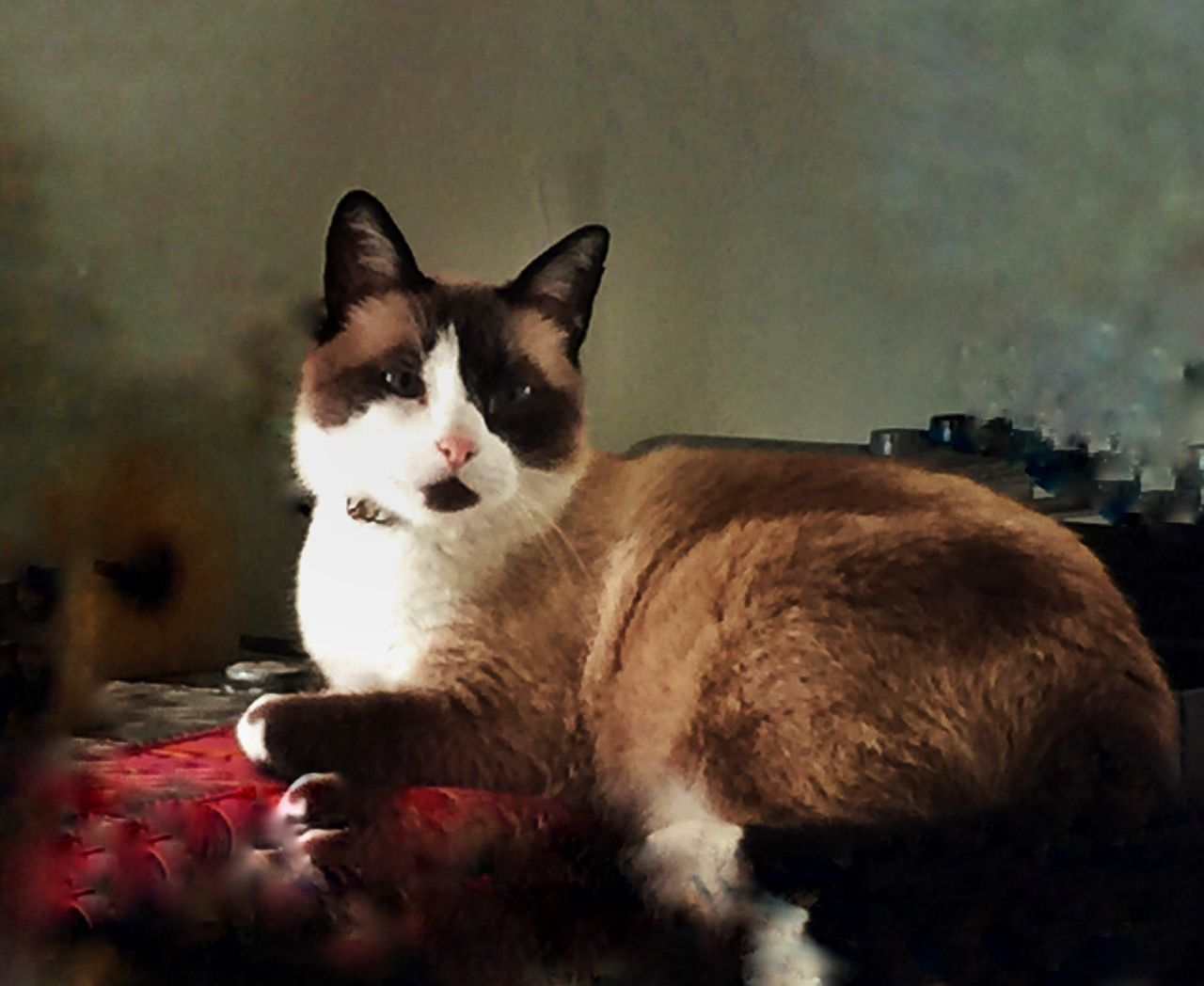one animal, animal themes, domestic cat, pets, domestic animals, mammal, cat, feline, no people, indoors, relaxation, portrait, looking at camera, day, nature, close-up