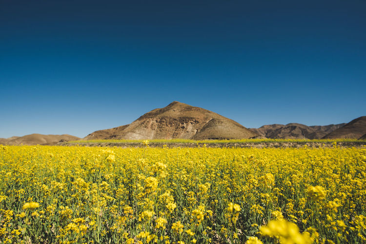 Field Tibet Outdoors Idyllic Day Copy Space Flowering Plant No People Field Plant Nature Blue Environment Flower Tranquility Tranquil Scene Land Scenics - Nature Landscape Yellow Clear Sky Sky Beauty In Nature EyeEm Selects Growth