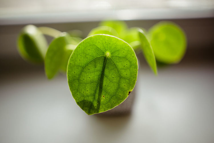 Green Color Pilea Peperomioides Succulents Chinese Money Plant Close Up Close-up Detail Evergreen Focus On Foreground Fragility Leaf Leaf Vein Leaves Lefse Plant Missionary Plant Pancake Plant Perennial Plants Succulent Plant Window Sill