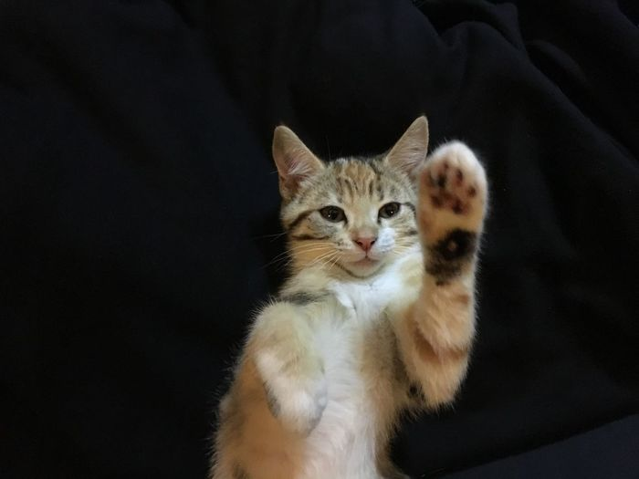 Highfive Domestic Cat Pets Feline Domestic Animals Mammal Animal Themes Cat One Animal Indoors  Looking At Camera No People Sitting Portrait Close-up Day Kitten Photography Black Background Kittens Kitten Kitty Feline Cat Cats