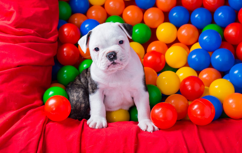 Portrait Of Dog Amidst Multi Colored Balls