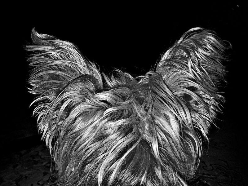 Black Background Night Katy The Dog Dog❤ Dog Dogs Dogs Of EyeEm Dog Photography Hairy Dog Dogs Ears Blackandwhite Black And White Mobile Photography Shadow Black & White Samsung Mobilephotography Blackandwhite Photography Amateurphotographer  Samsungphotography Amateurphotography