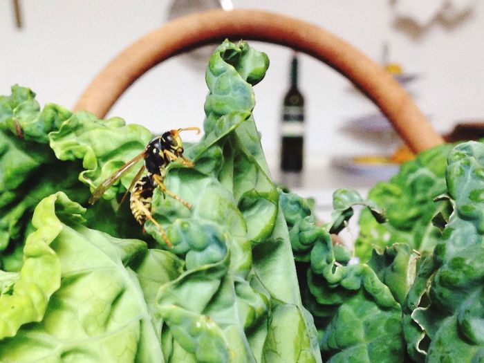 What's for dinner tonight..? Home Grown Homegrownvegetable Basket Lettuce Wasp Insect Insect Photography Wineandmore Healthyfood Look Beyond