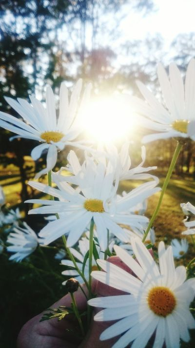Spring Flowers Flower Fragility Freshness White Color Flower Head Petal Growth Close-up Beauty In Nature White Nature Daisy In Bloom Focus On Foreground Springtime Plant Day Blossom Botany Outdoors