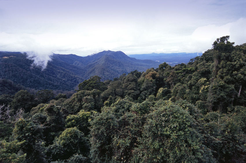 sub tropical rain forest in the mountains above dorrigo, NSW, Australia Australia Branch Branches Canopy Dorrigo Forest Forestswood Leaf New South Wales  Rainforest Sky Tree Top Trees Treetops Woods