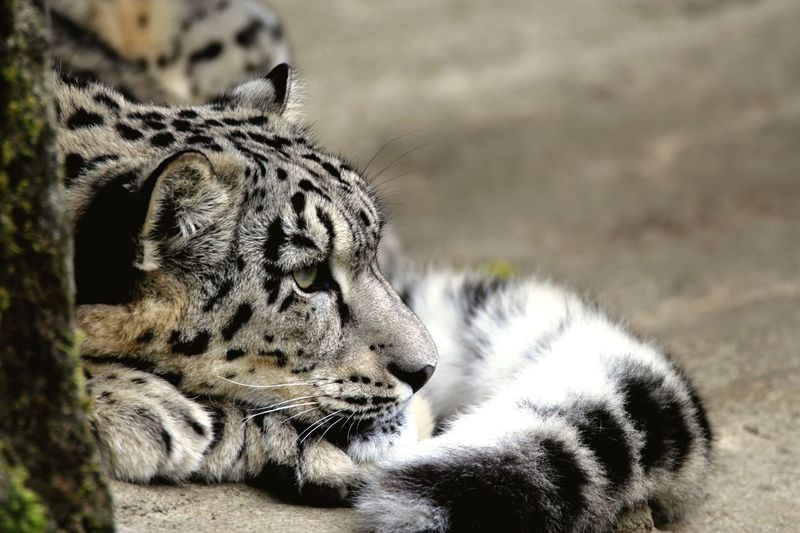 High Angle View Of Snow Leopard Relaxing On Field At Zoo