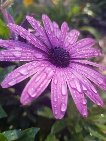 After the morning rain. Flower Fragility Nature Water Wet Drop Plant Purple Beauty In Nature Petal Day Focus On Foreground Outdoors No People Pink Color Freshness Flower Head Close-up Osteopernum African Daisies African Daisy Autumn Freshness Growth Pink