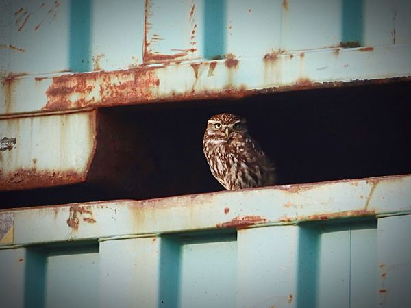 Bird Animal Themes One Animal Perching Animals In The Wild No People Day Indoors  Eyes Nature Littleowl Owl Outdoors Close-up Bird Of Prey Animal Wildlife Biodiversity Nature Photography