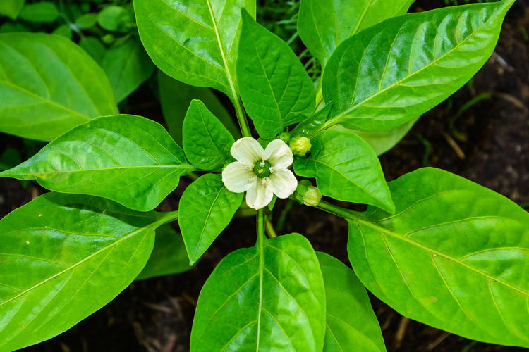 Top view of a flowering plant of pepper with a white flower in the spring Beauty In Nature Blooming Close-up Day Flower Flower Head Fragility Freshness Green Color Growth Houseplant Leaf Natura Nature No People Organic Outdoors Pepper Periwinkle Petal Plant Vegetable White Flower