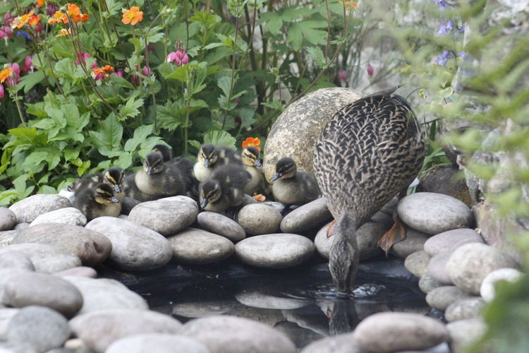 View of ducks on rock