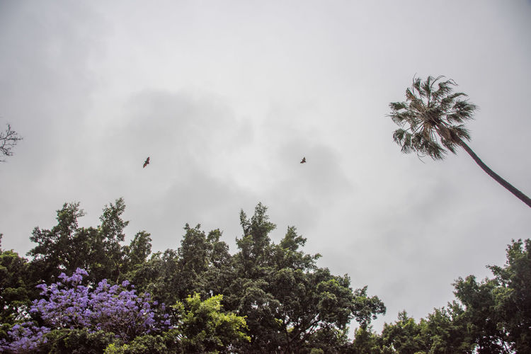 Bats above Hyde Park with tree tops in Sydney, Australia Australia Bat Cloudy Palm Tree Tree View From Below Wing Animal Themes Avian Bats Directly Below Flower Flying Hyde Park In Flight Outdoors Overcast Personal Perspective Purple Sydney Tree Tops Two Animals Wild Wildlife Wingspan
